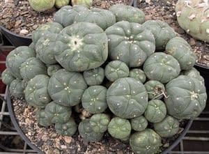 Buy Peyote Cactus in Texas